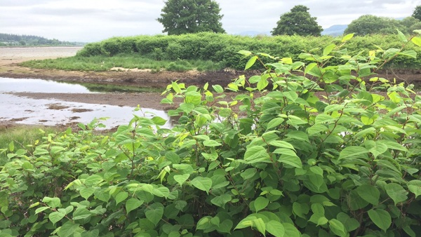 Corran Grazings Area - Japanese knotweed control
